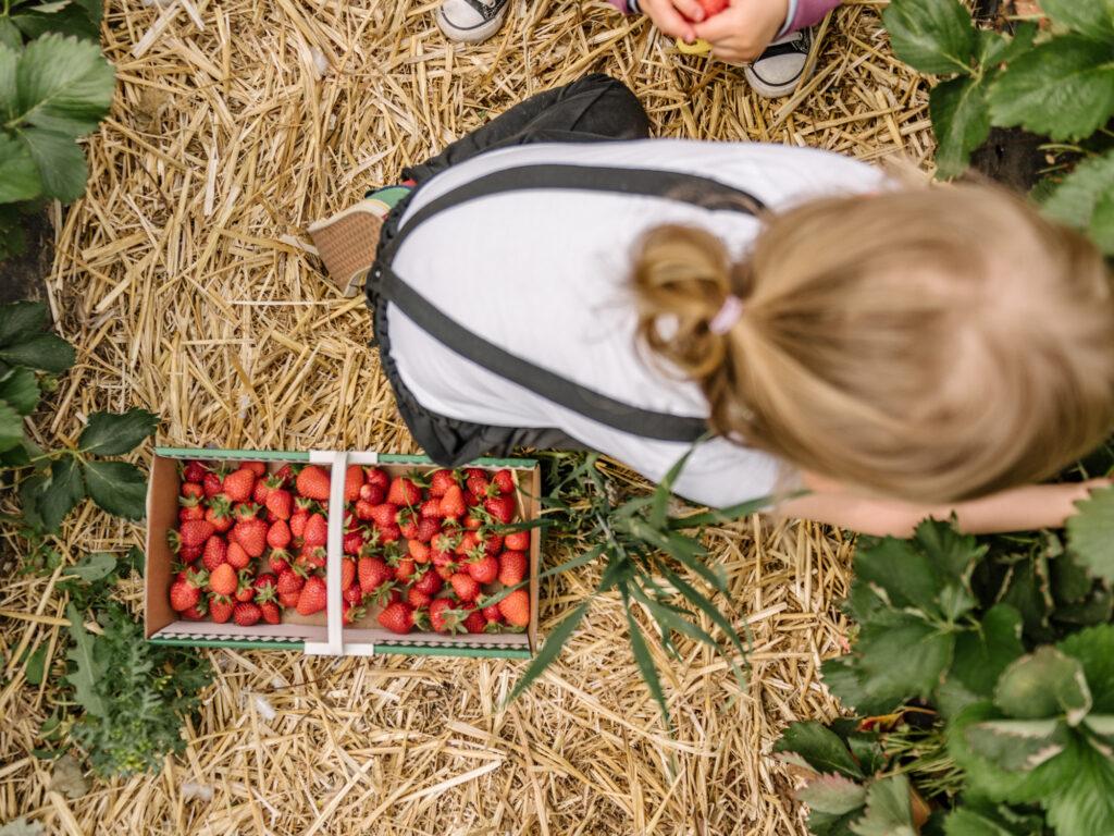 Erdbeeren in Dortmund selber pflücken